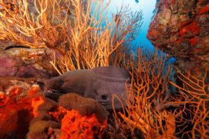 Giant moray