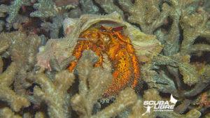 Ermit crab
