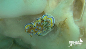 Chromodoris