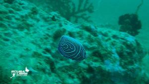 Juvenile angel fish