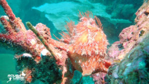 Awesome giant frogfish