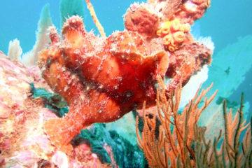 Scuba Libre Adventures_Burma Tour_Thai Sea_Giant frogfish_850
